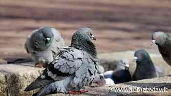 """""""Daje e daje pure li piccioni se fanno quaie"""", che vuol dire il proverbio romano"""