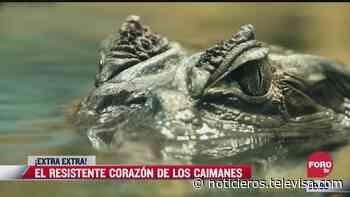 ¡Extra, Extra!: El resistente corazón de los caimanes - Noticieros Televisa