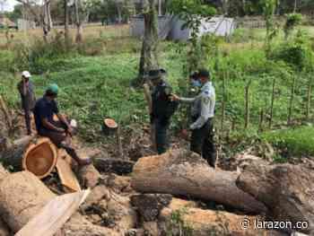 Tres capturados en San Bernardo del Viento por tala indiscriminada de árboles - LA RAZÓN.CO