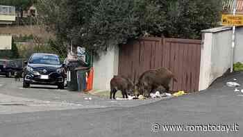 Cinghiali davanti i cancelli delle case: nel municipio della Sindaca rovistano i rifiuti lasciati nei cassonetti