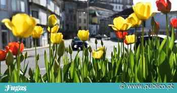 As 60 mil tulipas de Vila do Conde - PÚBLICO