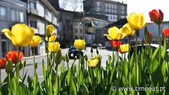 Vila do Conde plantou 60.000 tulipas – e já estão a florir - Time Out