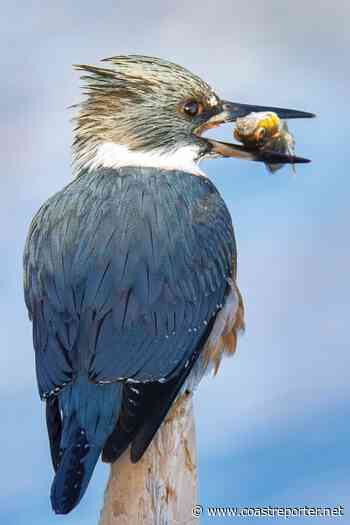 Kingfisher at Roberts Creek - Coast Reporter