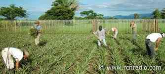 Chipaque; renace con el cultivo de la uchuva - RCN Radio