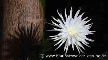 Kaktuspflanze aus dem Amazonas: Seltene Mondblume in Cambridge aufgeblüht