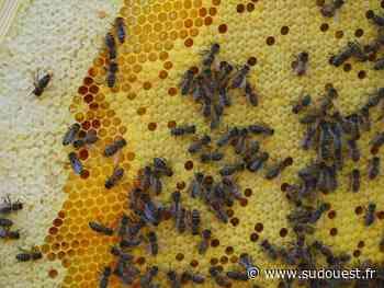 Izon : ils proposent de parrainer leurs abeilles - Sud Ouest