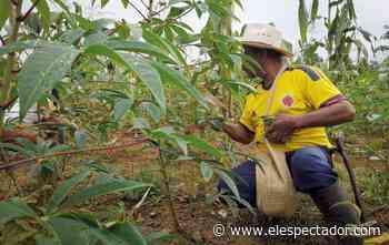 Cajibío: el sigiloso avance de la coca y las disidencias de las Farc - El Espectador