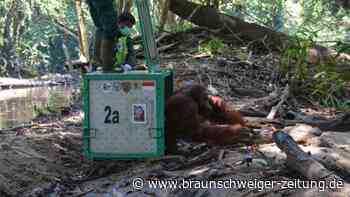 Tierschutz: Per Heli in den Regenwald: Zehn Orang-Utans ausgewildert