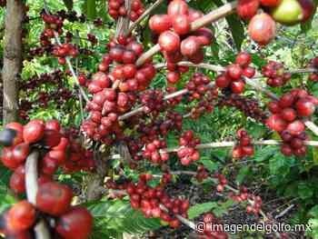 Urgente, apoyar producción de café en Altotonga - Imagen del Golfo