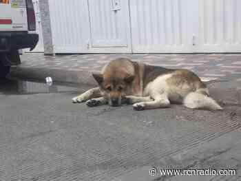 Alcalde de Ubaté debió retractarse tras ordenar sacrificar a perros callejeros del municipio - RCN Radio