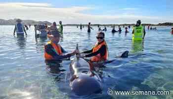 Vuelve y juega: Unas 50 ballenas quedaron varadas en playas de Nueva Zelanda - Semana.com