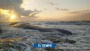 Una ballena murió encallada en playas de Puerto Escondido, Córdoba - El Tiempo