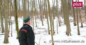 Gladenbach: Hickory sollen Lücken im Wald schließen - Mittelhessen