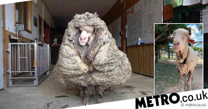 Sheep that hadn't been sheared in five years saved after 75-pound fleece cut off