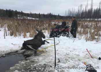 Cow moose rescued from frozen pond near Williams Lake – Ashcroft Cache Creek Journal - Ashcroft Cache Creek Journal