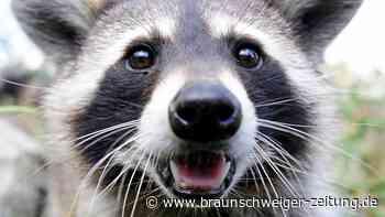 Eingewanderte Tierarten breiten sich in Niedersachsen weiter aus