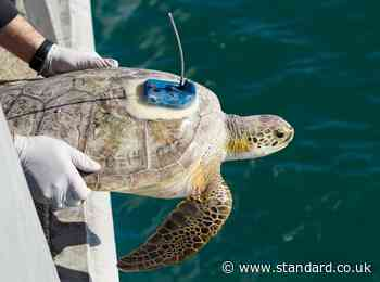 Thousands of 'cold-stunned' turtles returned to sea after brutal Texas storm