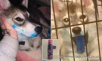Naughty husky puppy turns her tongue bright BLUE after chewing owner's box of hair dye