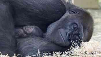Zoo-Nachwuchs: Schmatzt und schläft: Berliner Gorillababy entwickelt sich