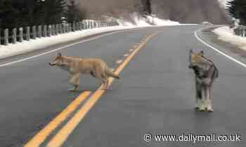 Dog growls in protest as coywolf stops the traffic