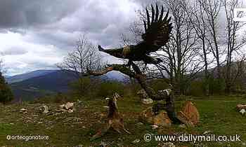 Fox dodges golden eagle's talons as they fight over animal carcass in extraordinary footage