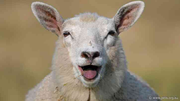 Great News! Victorian Council Rejects Sheep Milk Farm Proposal