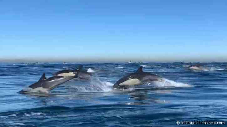 Caught On Video: Thousands Of Dolphins Stampede Next To Whale Watching Boat Off Newport Beach