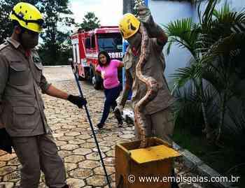 Bombeiros capturam cobra de dois metros em prédio de Porangatu - Portal Mais Goiás