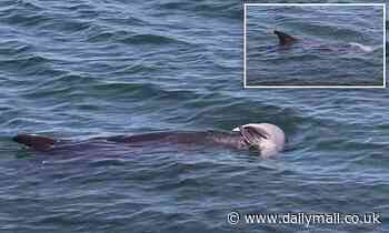 Heartbreaking moment dolphin called Cracker mourns the loss of her stillborn calf