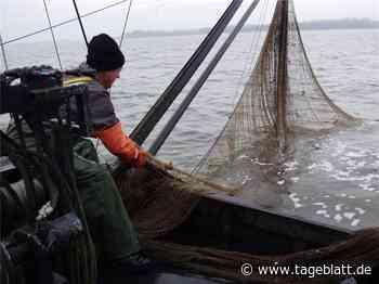 Kaum Stint im Netz des Elbfischers - Jork - Tageblatt-online