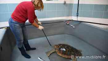 Gard : le centre de soins du Grau-du-Roi lance un appel aux dons pour les tortues marines - Midi Libre