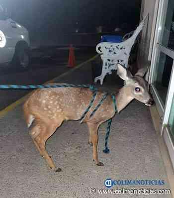 Resguarda PC Municipal un ciervo que localizaron extraviado en El Colomo - colimanoticias