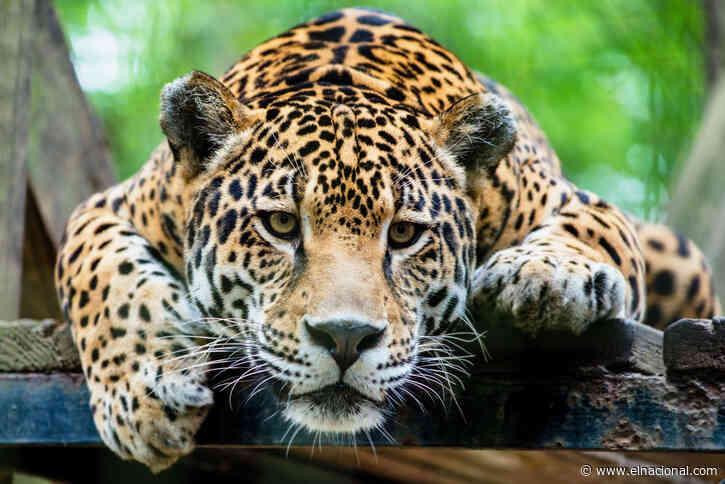 Un jaguar mató a otro tras terrible error en zoológico de Florida