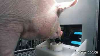 Pigs can learn to manipulate joystick and react to video game screen, researchers say