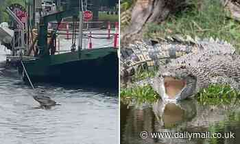 Massive crocodile stuns onlookers by getting stuck on a ferry cable in Queensland
