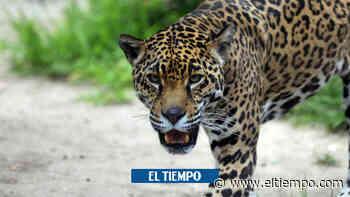 Campesina peleó con un palo contra un jaguar que atacó a sus hermanos - El Tiempo