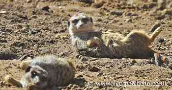 Heartbreak for meerkats who escaped from farm hit with 'issues'