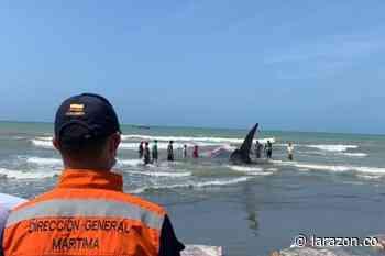 CVS dispuso de restos de ballena varada en playas de Puerto Escondido - LA RAZÓN.CO