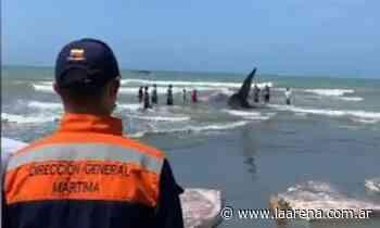 Murió la ballena que encalló en las playas de Puerto Escondido - La Pampa La Arena