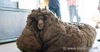 Overgrown 'lost' sheep found struggling to walk shaved of its massive fleece
