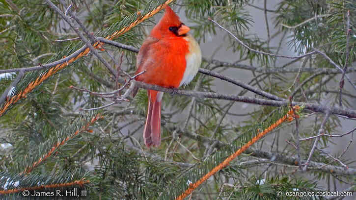'Once-In-A-Lifetime Sighting:' Incredibly Rare Half-Male, Half-Female Cardinal Spotted In Pennsylvania