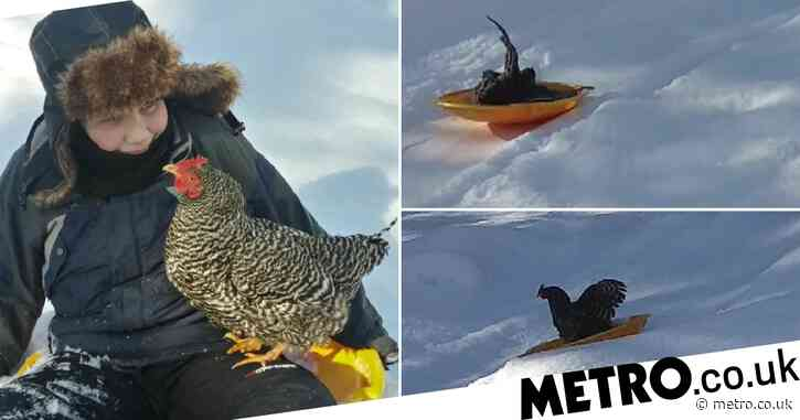 Meet Teddy Nugget, a chicken who loves sledding and hanging out with her best friend Luke