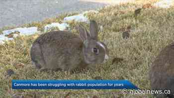 Canmore renews efforts to control rabbit population