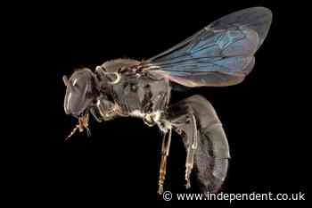 Rare bee missing for a century rediscovered in Australia
