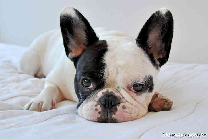 French Bulldogs Stolen In Lady Gaga Robbery Go For Big Bucks