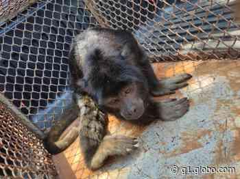 Bombeiros resgatam macaco ferido em Ilha Solteira - G1