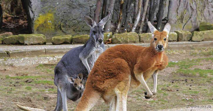 Tierisch spannend:  Zwei neue Känguru-Babys im Heidelberger Zoo