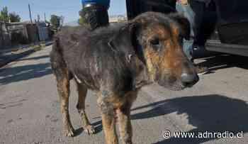 """Lo abandonaron viejo y enfermo al lado de un río: la historia de rescate del perrito """"Tatayaya"""" - ADN Chile"""