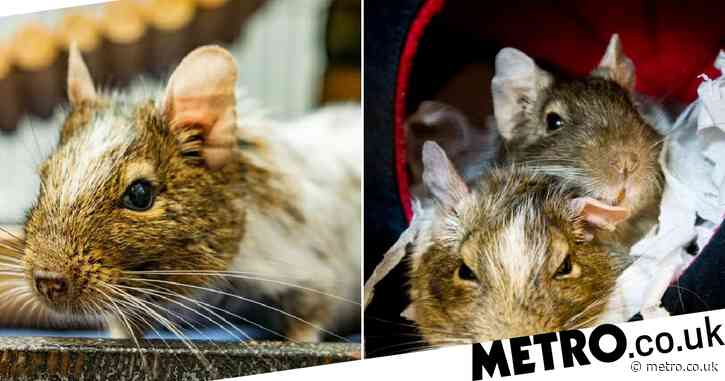 Greg, formerly the UK's 'loneliest degu', finally finds love