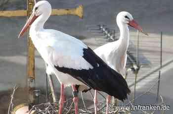 Geiselwinder Storchenpaar ist wieder vereint